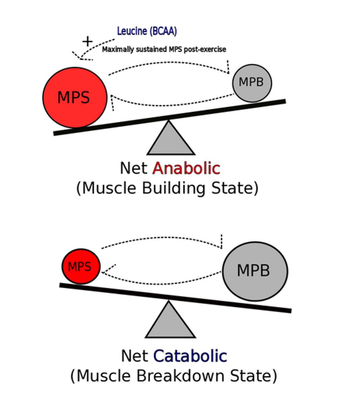 Leucine And Protein Synthesis: The Initiator Of Muscle